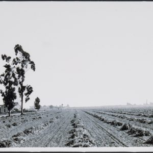 Segerstrom Home Ranch and lima bean fields